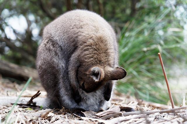 20210907-34-Bennett's Wallaby