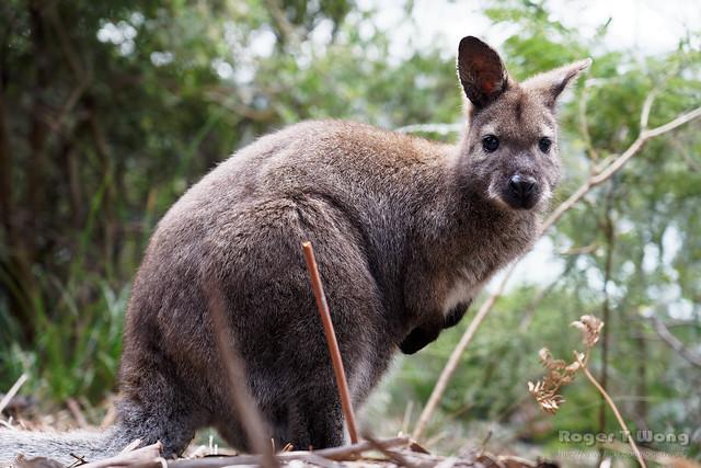 20210907-35-Bennett's Wallaby