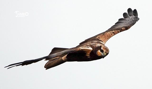 Lo sguardo del falco - The hawk's gaze