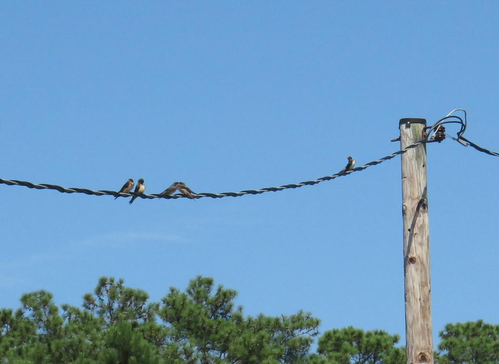 barnswallows8_21
