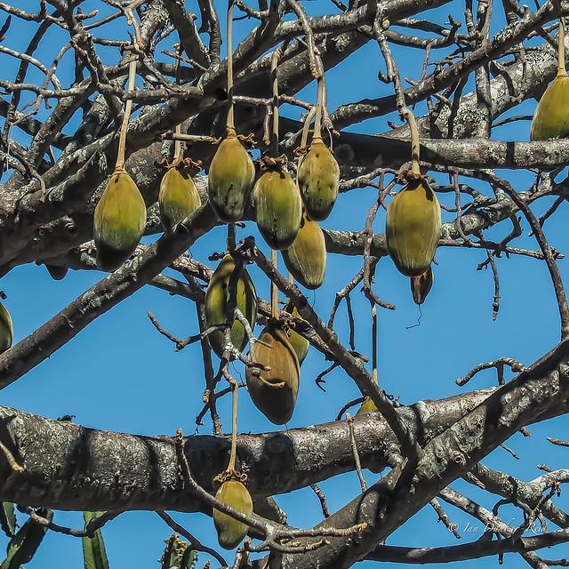 Adansonia, (Baobab) fruit