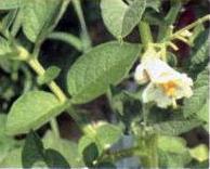 Fasi dello sviluppo della pianta di patate