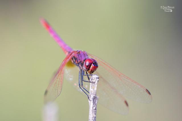 Dragon-fly...