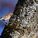 Bogfinke, Common chaffinch, Buchfink (Fringilla coelebs)-0691