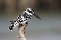Pied Kingfisher-7D2_0251-ShpnAI