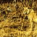 20040118-Lions at dawn.jpg