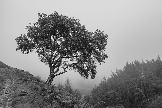Lone tree (by a mountain track)