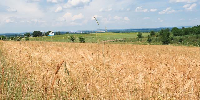 021Jun 27: Barley Fields, Holic