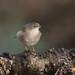 Curruca cabecinegra ♀ (Sylvia melanocephala)