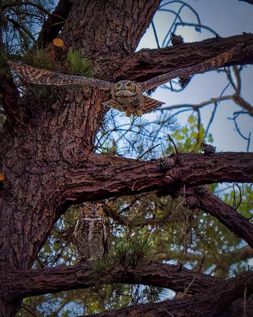 A Pair in a Pine - II