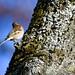 Bogfinke, Common chaffinch, Buchfink (Fringilla coelebs)-0686