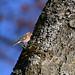 Bogfinke, Common chaffinch, Buchfink (Fringilla coelebs)-0693