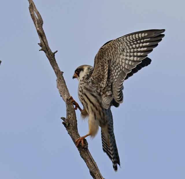 Red -footed Falcon