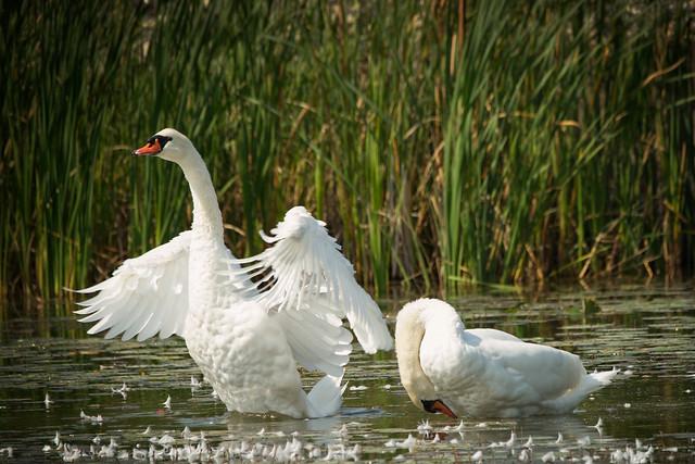_DSC6556 Mute Swan aggressive posture