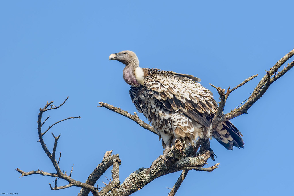 Rüppell's Griffon Vulture (Gyps rueppellii) - adult
