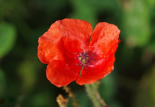 An autumn poppy