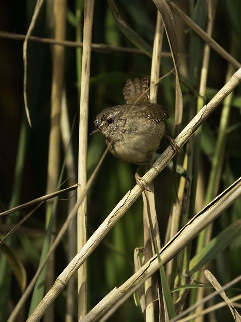 Juvenile Wren