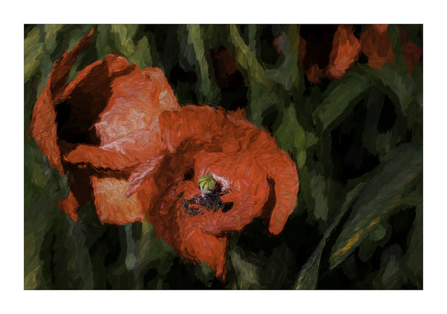 5180TSb Poppies