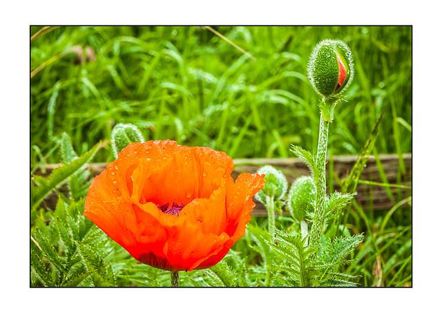 In the Poppy Field (Papaver rhoeas) 2779