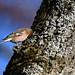 Bogfinke, Common chaffinch, Buchfink (Fringilla coelebs)-0689