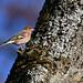 Bogfinke, Common chaffinch, Buchfink (Fringilla coelebs)-0692