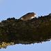 Bogfinke, Common chaffinch, Buchfink (Fringilla coelebs)-0684