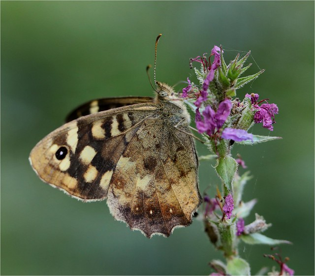 Speckled Wood Butterfly - Parage aegeria