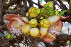 Sala flowers - Chiang Kham - North Thailand