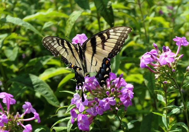 Swallowtail  (Explored)