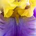 Purple & Yellow Iris, 5.2.18