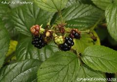 Rubus Sp. 'Blackberry'