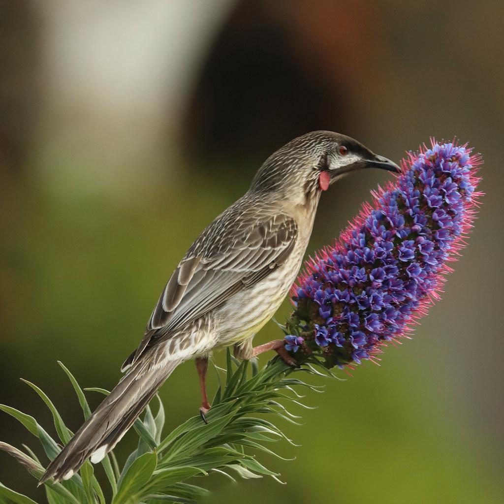 Red Wattle Bird & Echium
