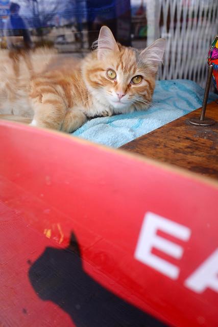 Strathcona window cat