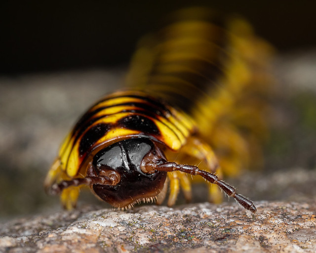Colorful Flat-backed Millipede