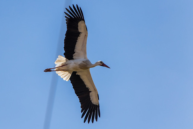 White stork soaring about some aerial power lines