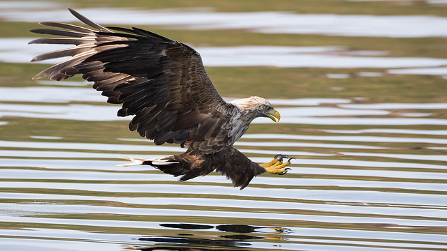 White Tailed Eagle on the Isle of Mull