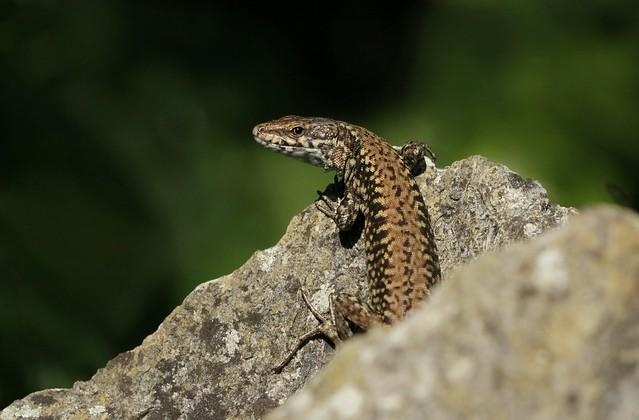 Wall lizard. Dorset