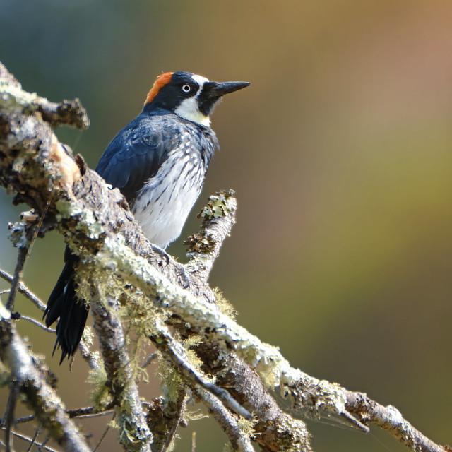 Perched: Acorn Woodpecker