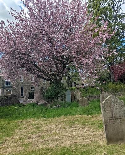 Flowering Cherry, St Mary's and St Stephen's Churchyard, Wolsingham