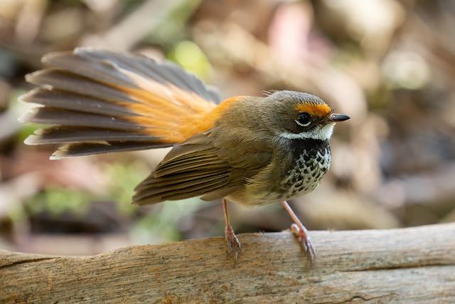 Rufous Fantail - Rhipidura rufifrons
