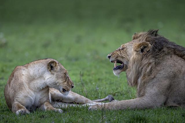 lion et lionne-2685