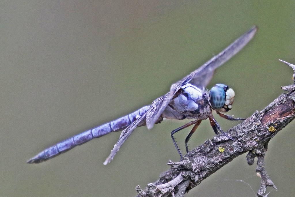 IMG_75243 Great Blue Skimmer 09 15 21
