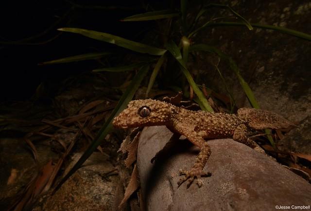 Broad-tailed Gecko (Phyllurus platurus). Sydney, NSW