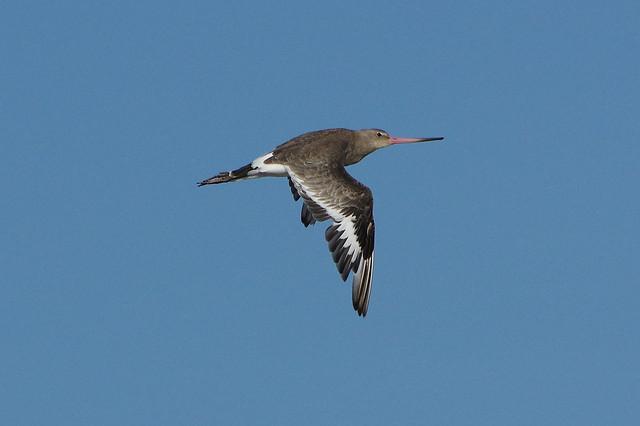 K32P8626aa Black-tailed Godwit, Titchwell Beach, September 2021