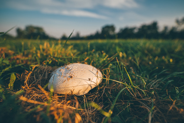 Large white mushroom growing in a grass field