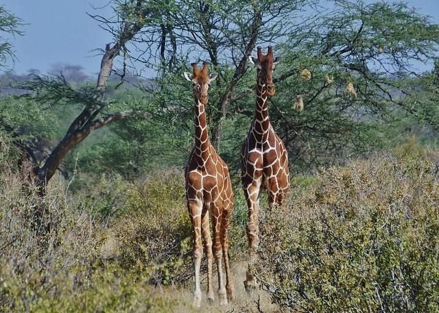 Two Reticulated Giraffes Walking Towards Me   (Giraffa camelopardalis reticulata,