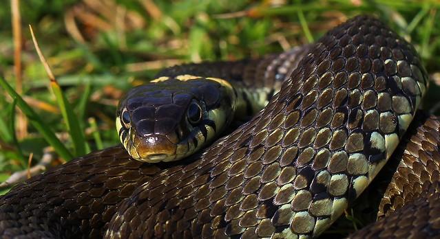 Grass Snake - Natrix natrix 250821 (21)