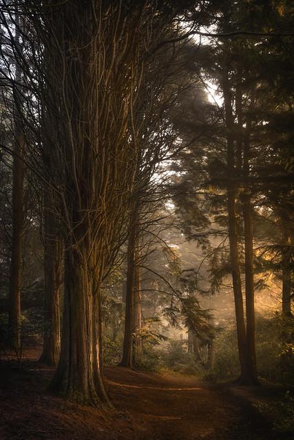 Golden light pine wood