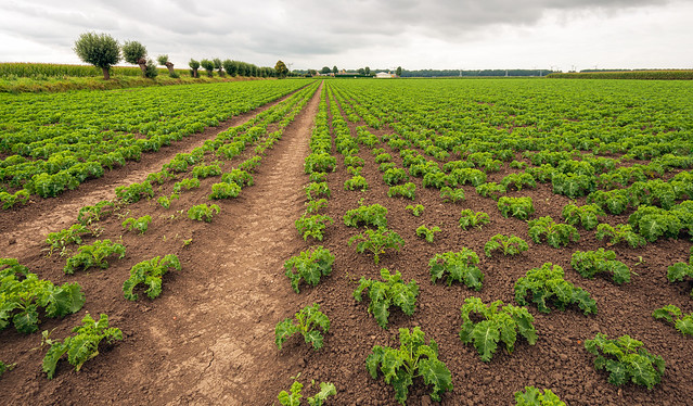 Large field with kale plants in long rows