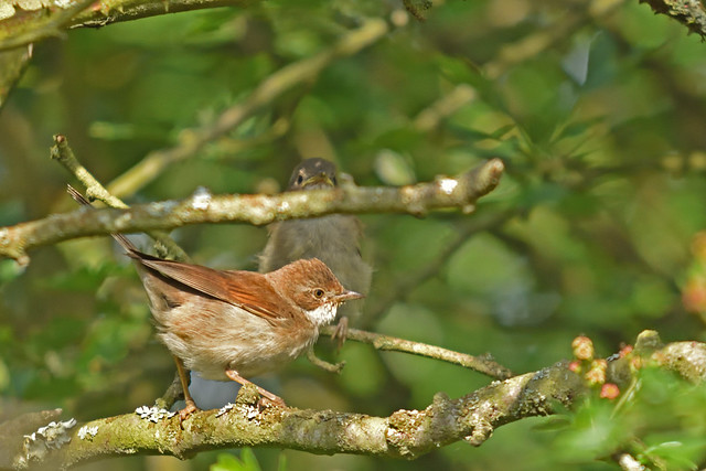 Whitethroat (with young in background)